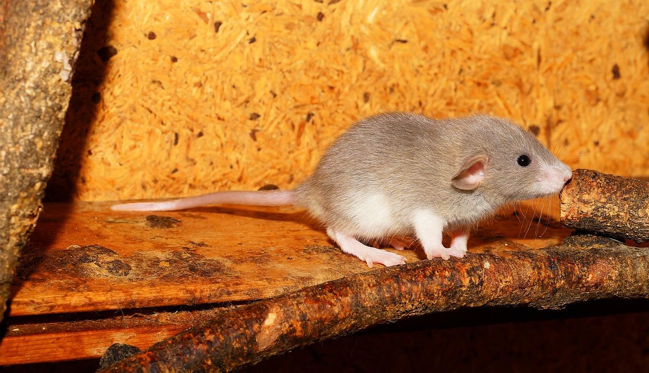 Sådan får du bugt med rotter i huset
