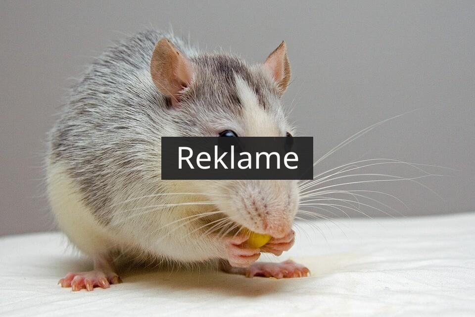 Hvordan kommer jeg af med rotter?